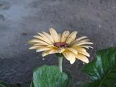 非洲菊:非洲菊-13.JPG