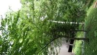 50櫻桃樹.JPG - 1050721暑假日本行