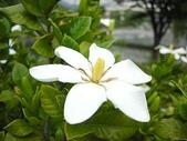 花草植物:梔子の花qq.jpg