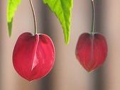 花草植物:チョウチン.jpg