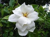 花草植物:梔子の花t.jpg
