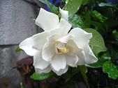 花草植物:梔子の花.b.jpg