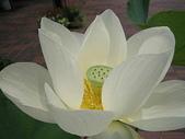 花:蓮.jpg