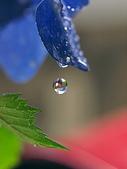 花草植物:夢追い酒-花の涙.jpg