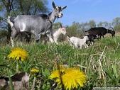 動物:羊.jpg