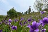 花草景物風景:樹影球場の近くにスミレが咲いていました.jpg