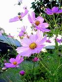 花:こすもす,.jpg