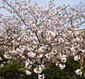 :桜9C2.jpg