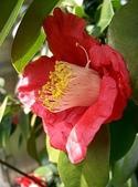 櫻花和椿和紅葉:つばきcc.jpg