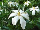 花草植物:梔子の花dd.jpg