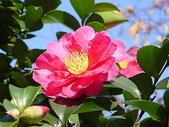 櫻花和椿和紅葉:山茶花 (さざんか).jpg