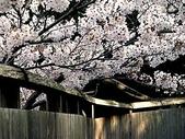 櫻花和椿和紅葉:思い出.2.jpg