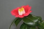 櫻花和椿和紅葉:つばき3.jpg