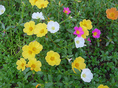 花:ポーチュラカ.jpg