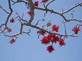 花:でいごの花01.jpg