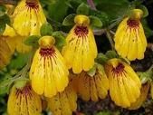 花草植物:智利.11.jpg