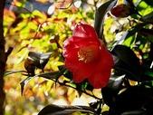 櫻花和椿和紅葉:椿.jpg