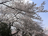 櫻花和椿和紅葉:上野公園の桜.jpg