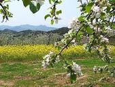 花草植物:白いリンゴの花.jpg