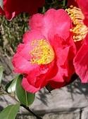 櫻花和椿和紅葉:さざんか.jpg