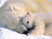 動物:polar bear.jpg