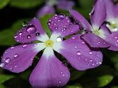 花草植物:雫2.jpg