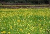 花草植物:油菜花0.jpg
