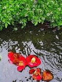 櫻花和椿和紅葉:水路の落椿.jpg