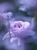 花:紫色夢幻.jpg