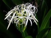 花草植物:浜木綿.jpg