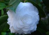 櫻花和椿和紅葉:白い椿.n.jpg