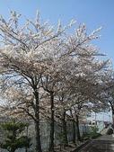 櫻花和椿和紅葉:桜の並木 京都市.jpg
