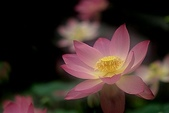 花:蓮0a.jpg
