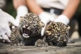 動物:非洲豹.jpg