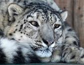 動物:雪豹.jpg
