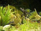 熱帶魚:IMGP0668