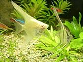 熱帶魚:IMGP0673