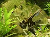 熱帶魚:IMGP0680