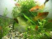 熱帶魚:IMGP0634