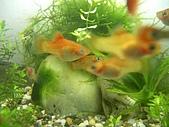 熱帶魚:IMGP0635