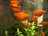 熱帶魚:IMGP0636