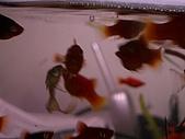 熱帶魚:IMGP0818