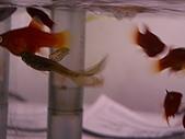 熱帶魚:IMGP0819