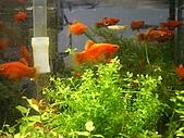 熱帶魚:IMGP0632