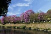 108年2月15日朝馬公園紅花風鈴木:_DSC9866a.jpg