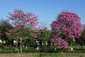 108年2月15日朝馬公園紅花風鈴木:_DSC9881.jpg