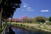 108年2月15日朝馬公園紅花風鈴木:_DSC9865A.jpg