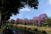 108年2月15日朝馬公園紅花風鈴木:_DSC9868.jpg