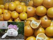 老父親的水果園:總統柑a.JPG