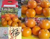 老父親的水果園:桶柑.JPG